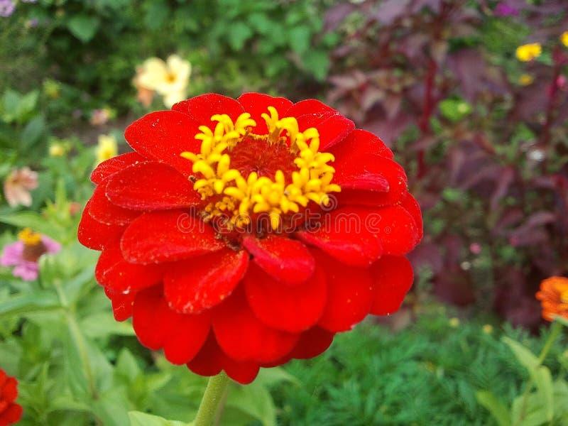 Fleur lumineuse rouge photo libre de droits