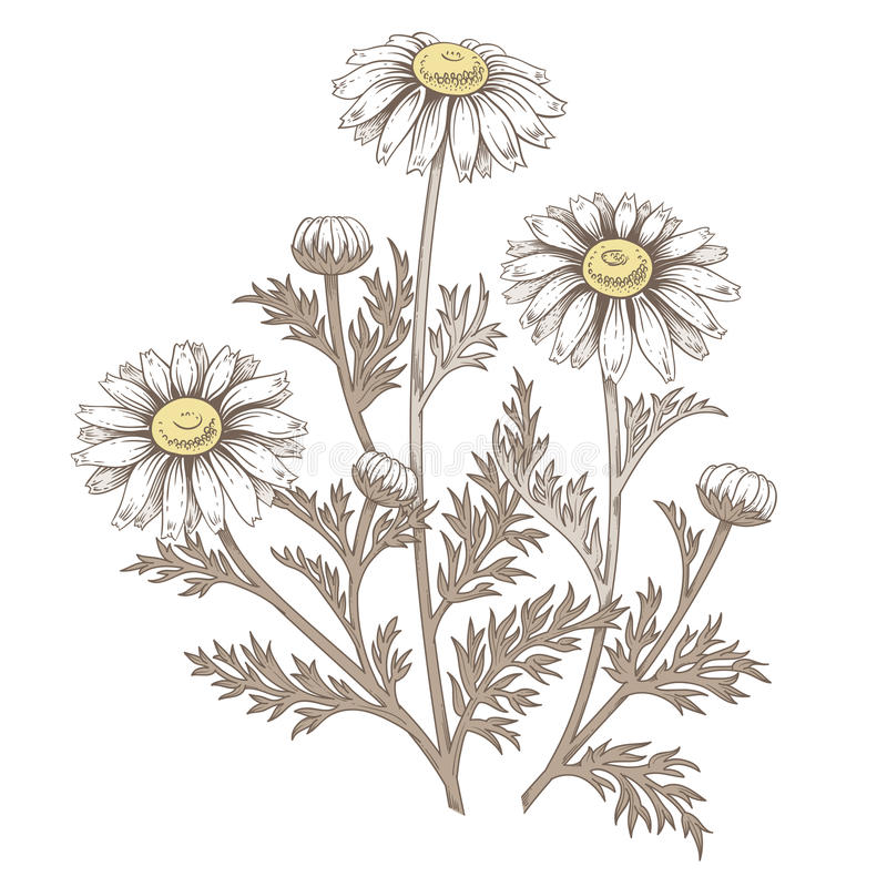 Fleur médicale de marguerite illustration de vecteur