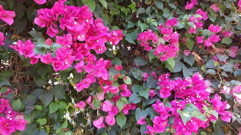 Fleur magenta image libre de droits