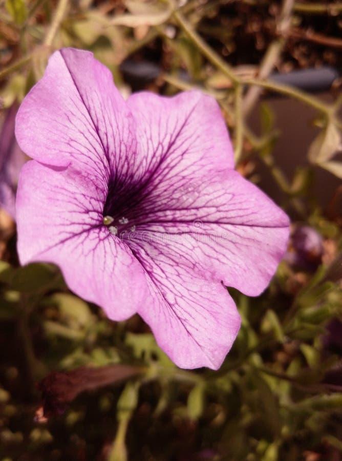 Fleur mauve photographie stock libre de droits