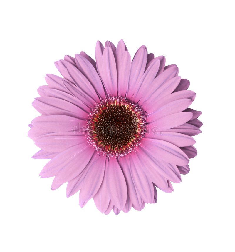 Fleur mauve-clair de Gerbera image libre de droits