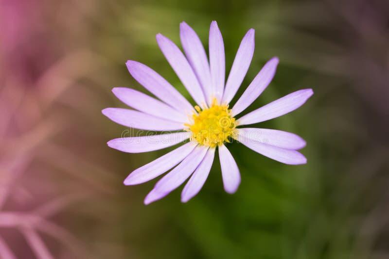 Fleur mauve-clair sur le fond de tache floue images stock