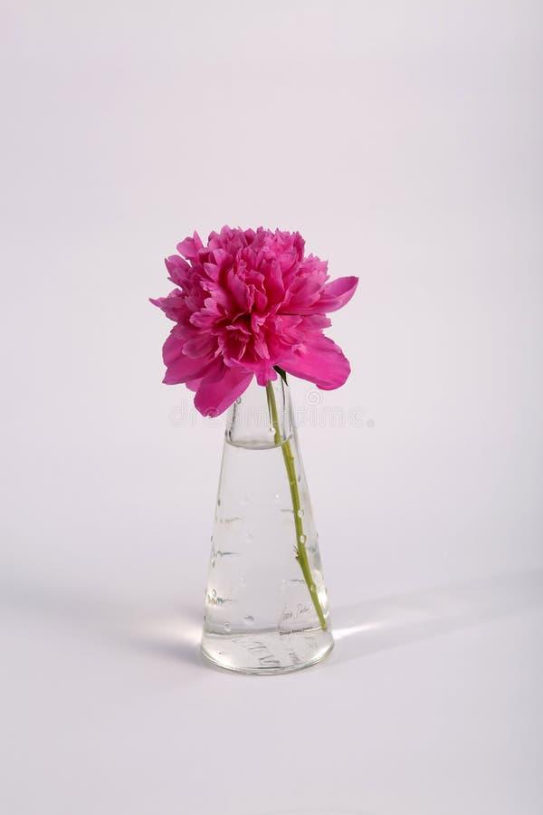 Fleur mauve dans un pot images libres de droits