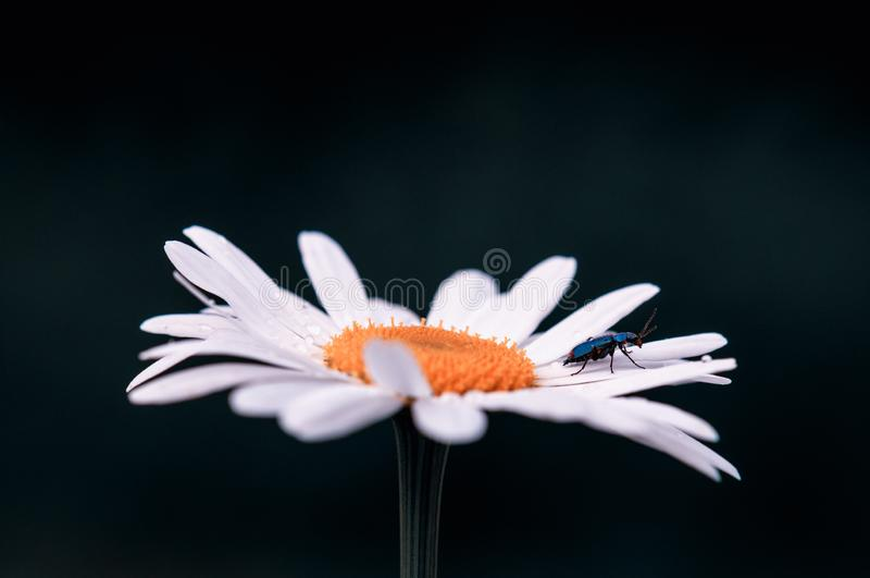 Fleur maximum de grand Leucanthemum blanc au printemps sur un pr? sur un fond brouill? vert-fonc? et noir photos libres de droits