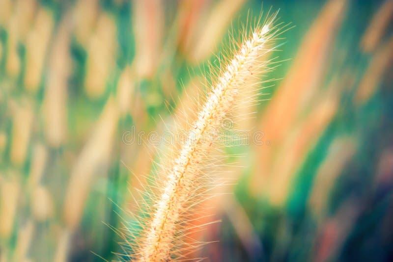 Fleur molle d'herbe de foyer avec le bokeh color?, fond abstrait de papier peint de nature de ressort photo libre de droits