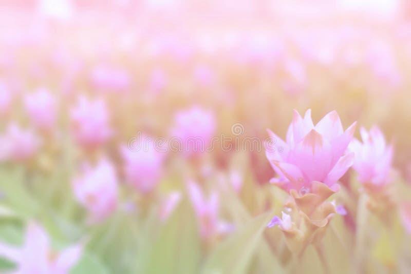 Fleur molle de Krachai de fleur de tulipe du Siam de rose de tache floue sur le fond vert dans le jardin images libres de droits