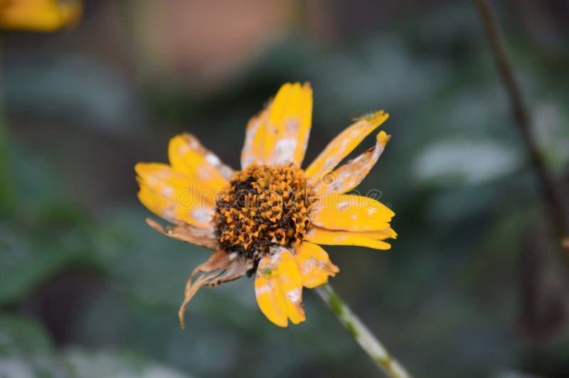 Fleur mourante photos libres de droits