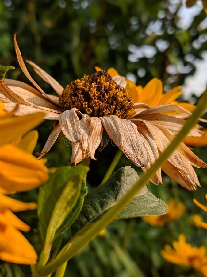 Fleur mourante images libres de droits