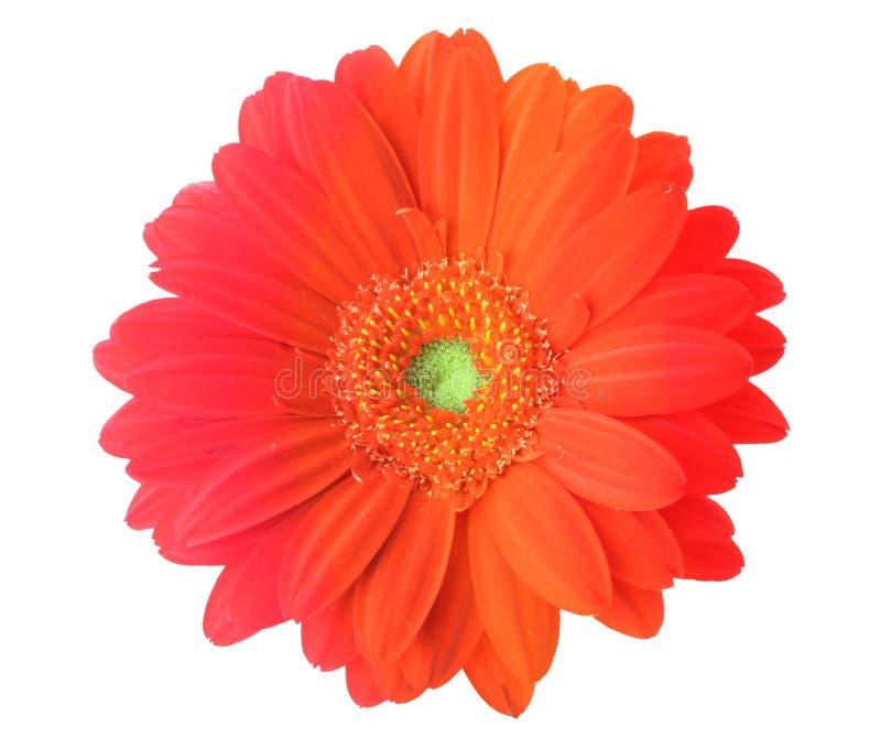Fleur multicolore de gerbera images stock