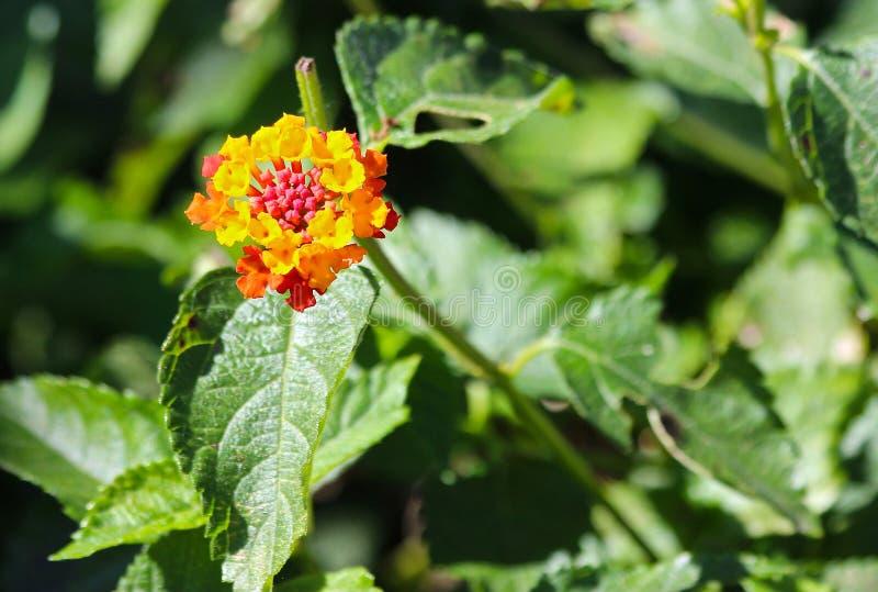Fleur multicolore de Lantana image libre de droits