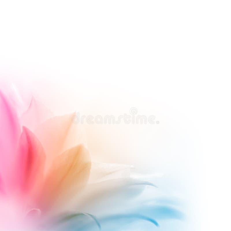 Fleur multicolore lumineuse de cactus sur le fond blanc photo libre de droits