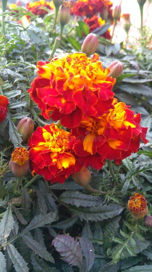 Fleur multiple de couleur image libre de droits