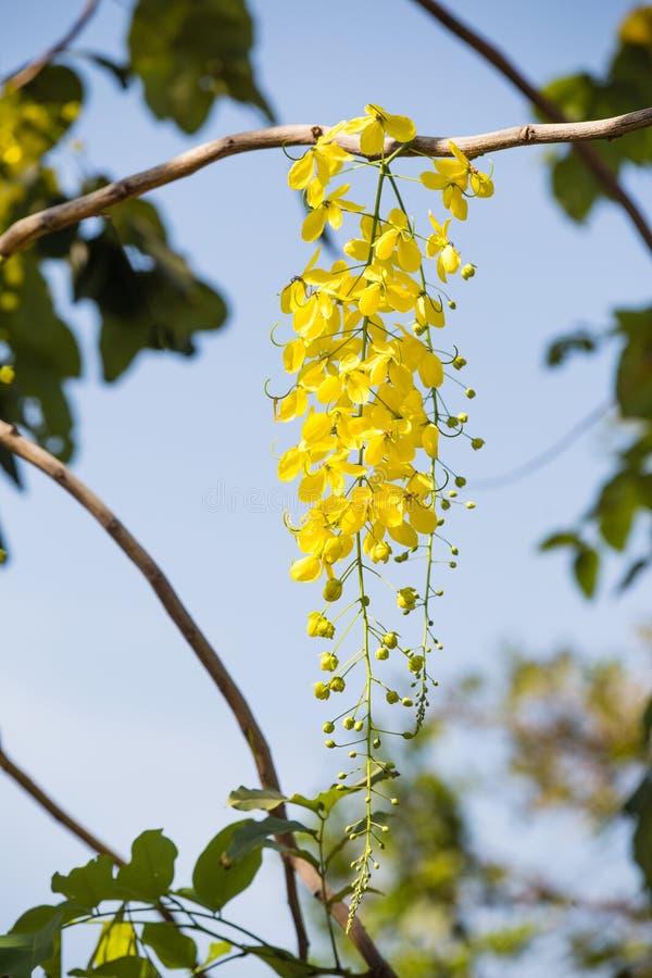 Fleur nationale de la Thaïlande, Cassia Fistula, belle fleur thaïlandaise jaune image libre de droits