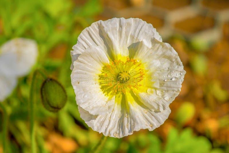 fleur, nature, blanc, usine, ressort, marguerite, jaune, vert, fleurs, été, jardin, flore, fleur, fleur, plan rapproché, macro, b image stock