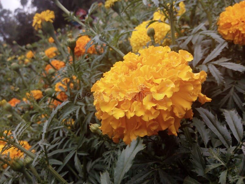 Fleur naturelle de bronze d'Astor de chrysanthème du Sri Lanka photo stock