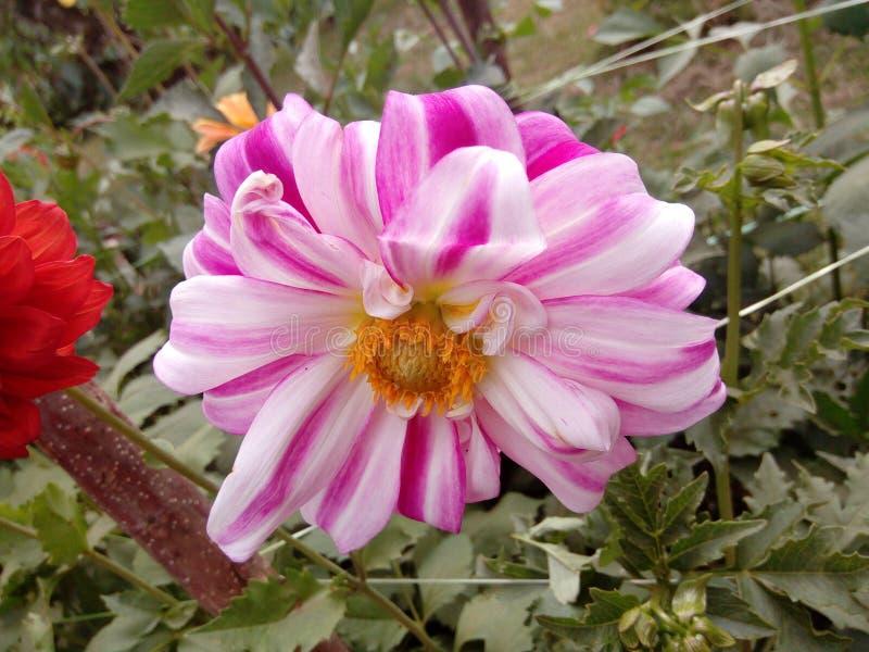 Fleur naturelle de dahlia du Sri Lanka images libres de droits