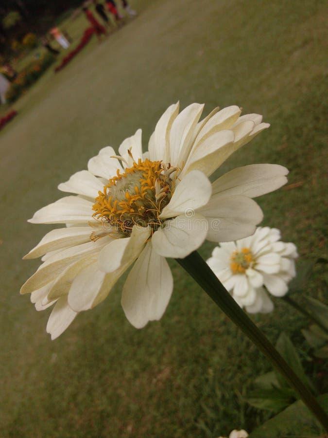 Fleur naturelle de marguerite du Sri Lanka images libres de droits