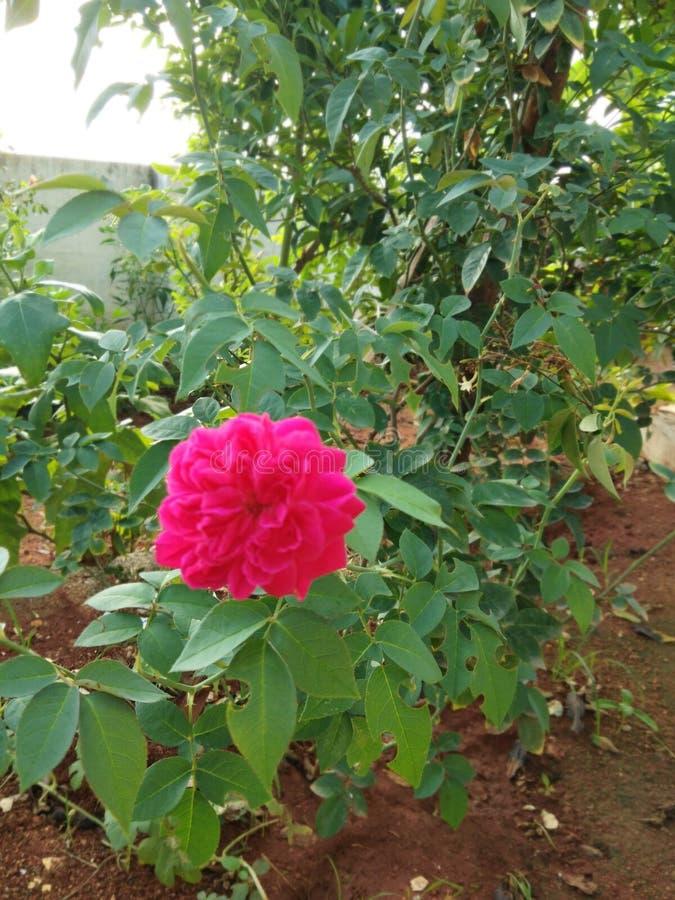 Fleur naturelle de Rose d'Inde photographie stock libre de droits