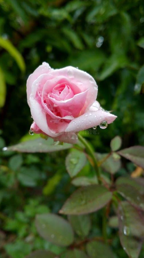 Fleur naturelle de Satish belle photo libre de droits