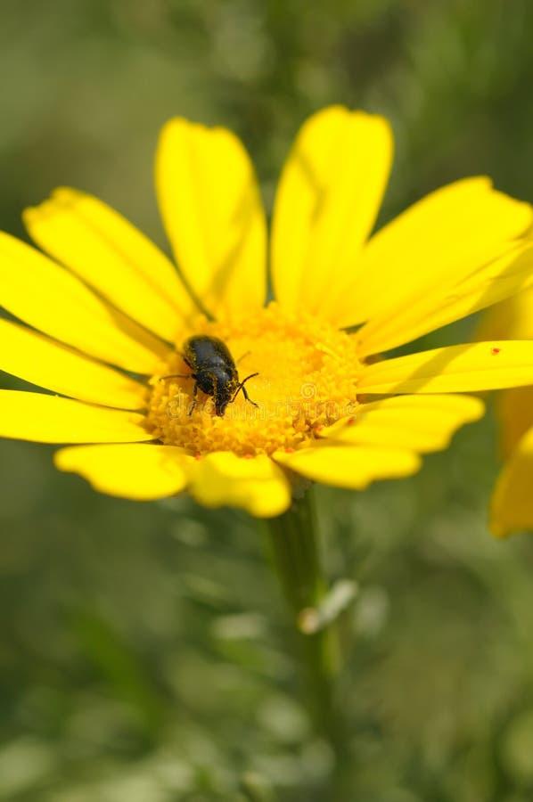 Fleur noire de ressort de scarabée photos libres de droits