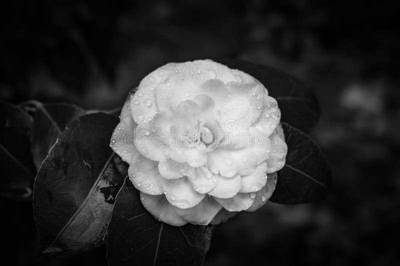 Fleur noire et blanche de camélia images libres de droits