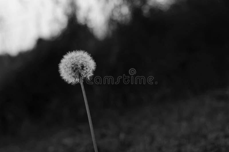 Fleur noire et blanche de chicorée photographie stock libre de droits