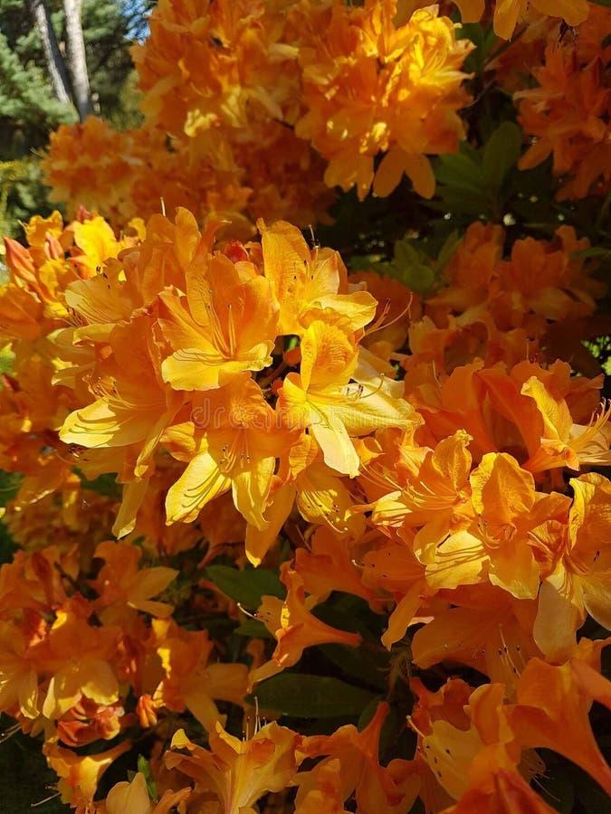 Fleur orange photos stock