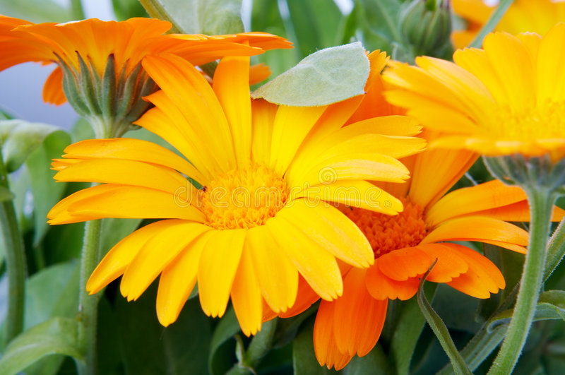 Fleur orange photographie stock libre de droits