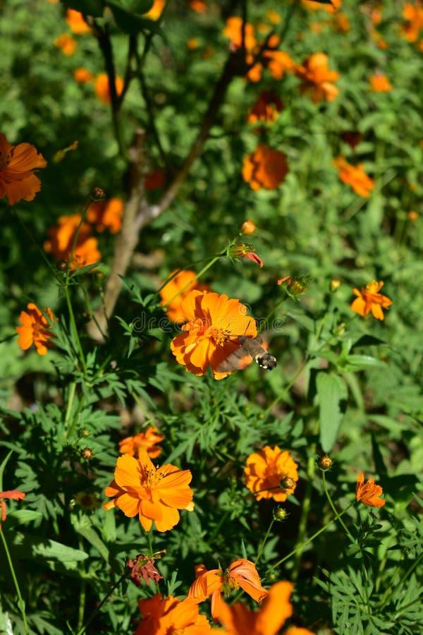 Fleur orange avec la mite Jardin urbain photographie stock