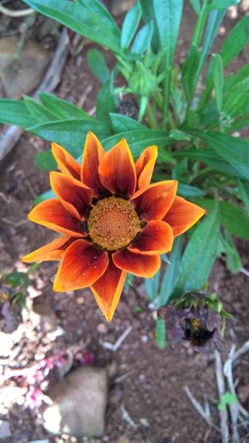 Fleur orange avec les détails bruns photo libre de droits