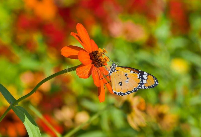 Fleur orange dans les paires avec le guindineau de monarque image stock