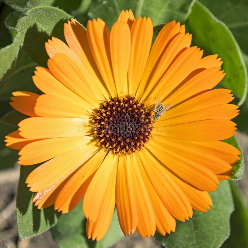 Fleur orange de Calendula avec l'abeille rayée minuscule photo libre de droits