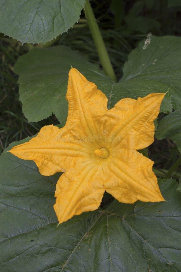 Fleur orange de cantaloup (melo de Cucumis) photo libre de droits
