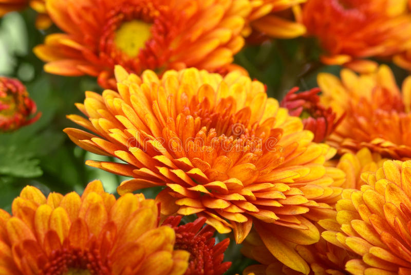 Fleur orange de chrysanthemum images libres de droits