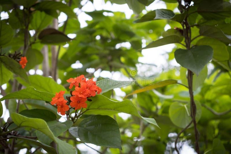 Fleur orange de Cordia sur la feuille verte photographie stock