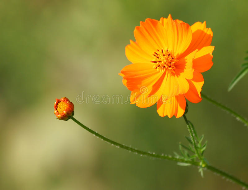 Fleur orange de cosmos avec le bourgeon photo libre de droits