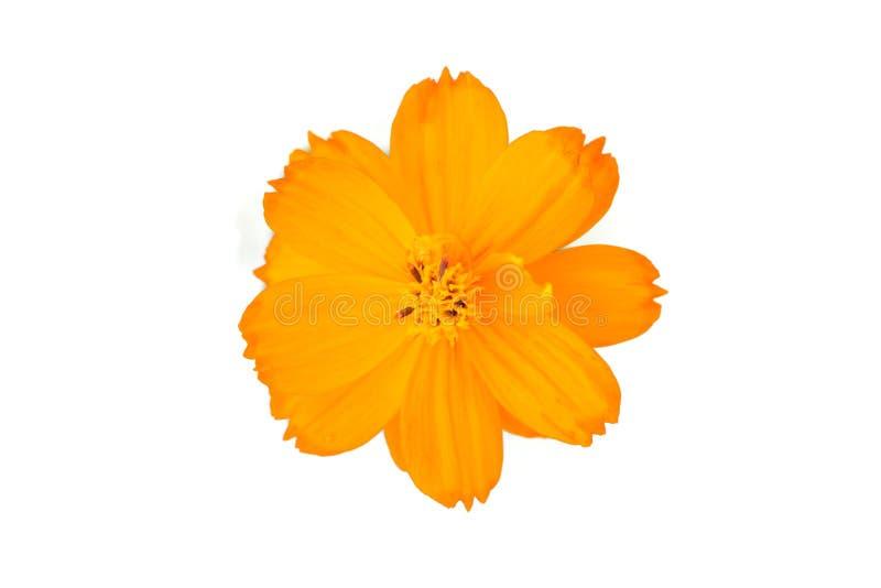 Fleur orange de cosmos d'isolement sur le fond blanc photo libre de droits