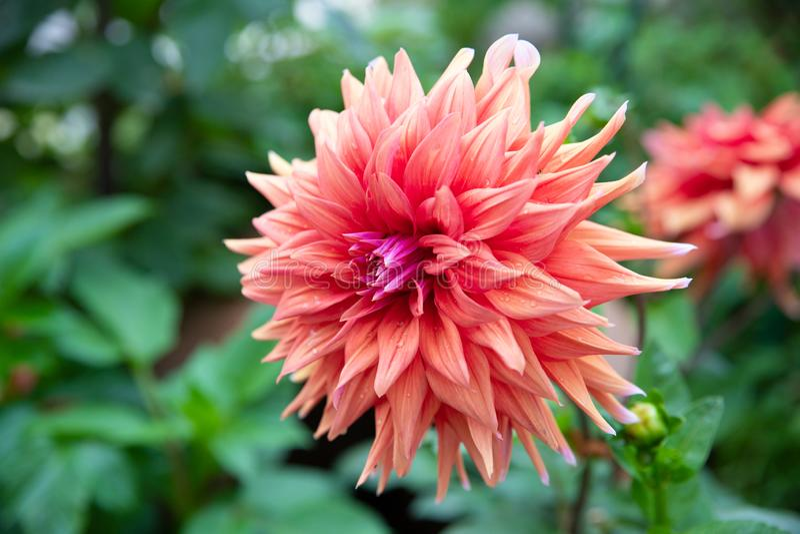 Fleur orange de dahlia photographie stock