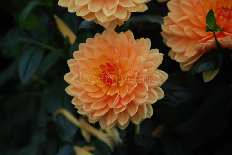 Fleur orange de dahlia - symbole de l'élégance, de la force intérieure, du changement de créativité et de la dignité images stock
