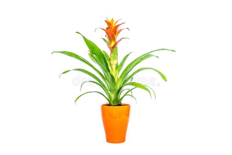 Fleur orange de floraison de bromélia avec les feuilles vertes en plan rapproché élégant orange de pot d'isolement sur le blanc images libres de droits