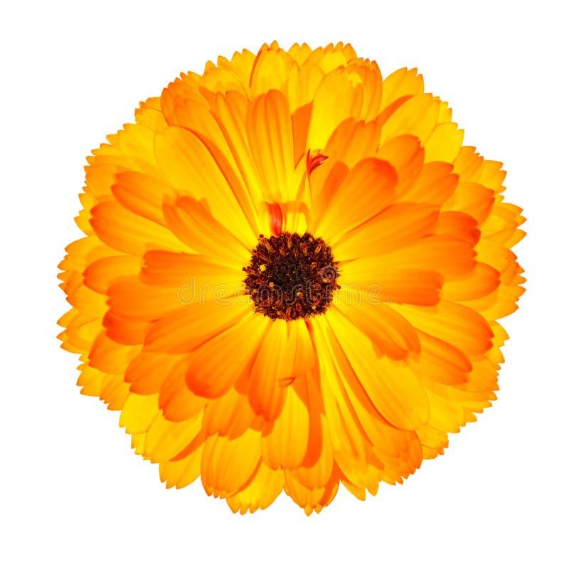 Fleur orange de floraison de souci de bac d'isolement photographie stock libre de droits