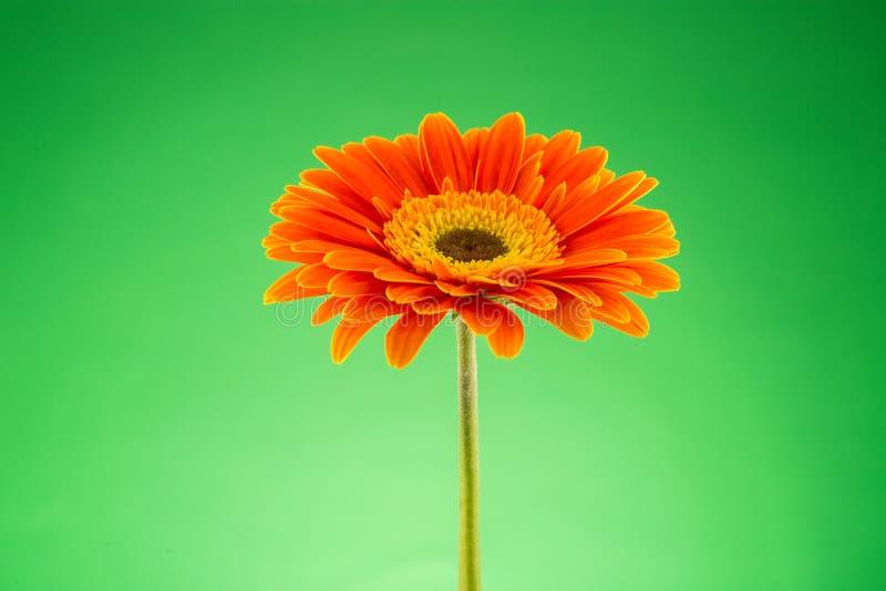 Fleur orange de Gerbera d'isolement sur le vert photos libres de droits