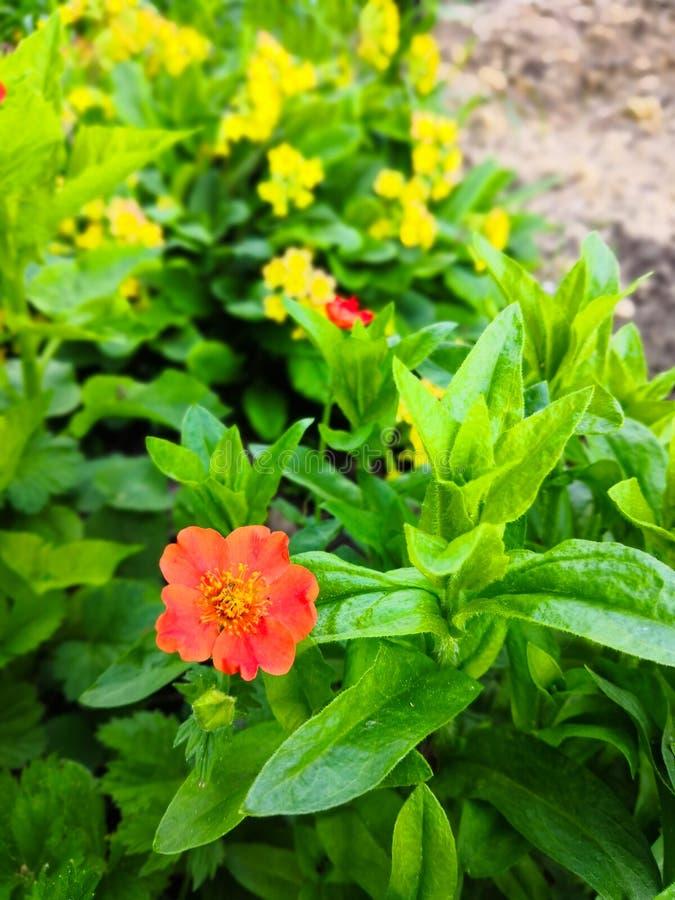Fleur orange de geum et primevère jaune image stock