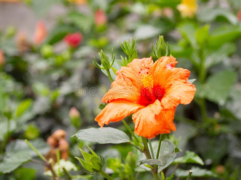 Fleur orange de ketmie photographie stock