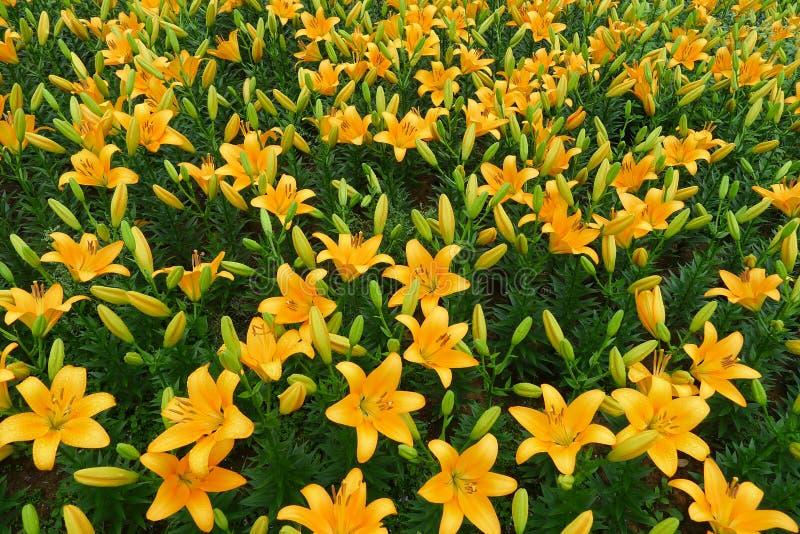Fleur orange de lis photo stock