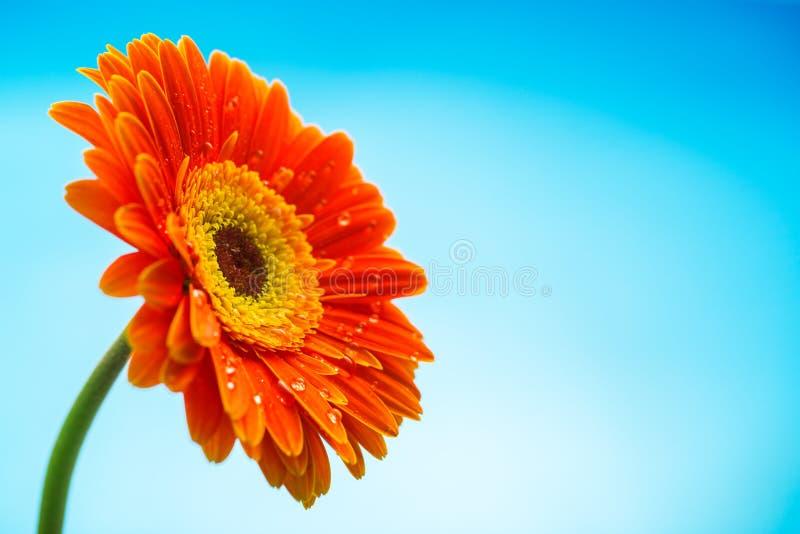 Fleur orange de marguerite de gerbera d'isolement sur le fond bleu photo libre de droits