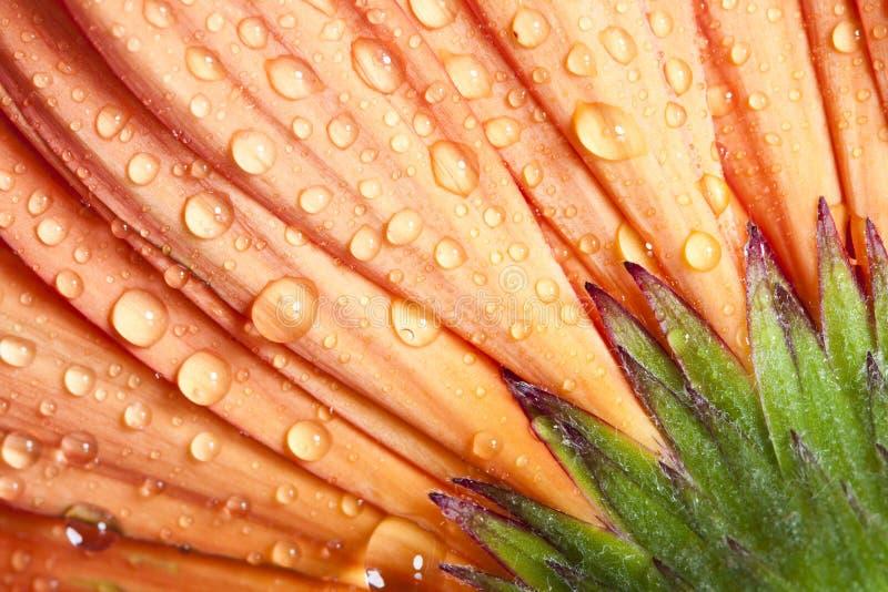Fleur orange de marguerite de gerbera de plan rapproché images stock