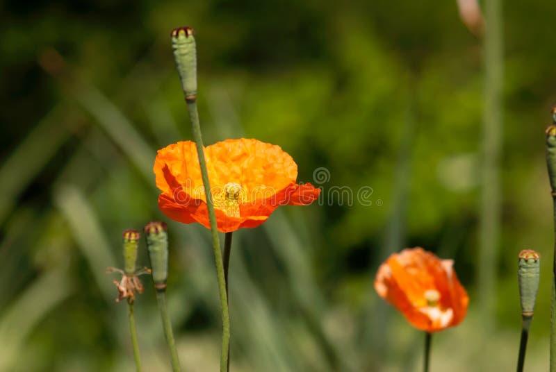 Fleur orange de pavot images stock