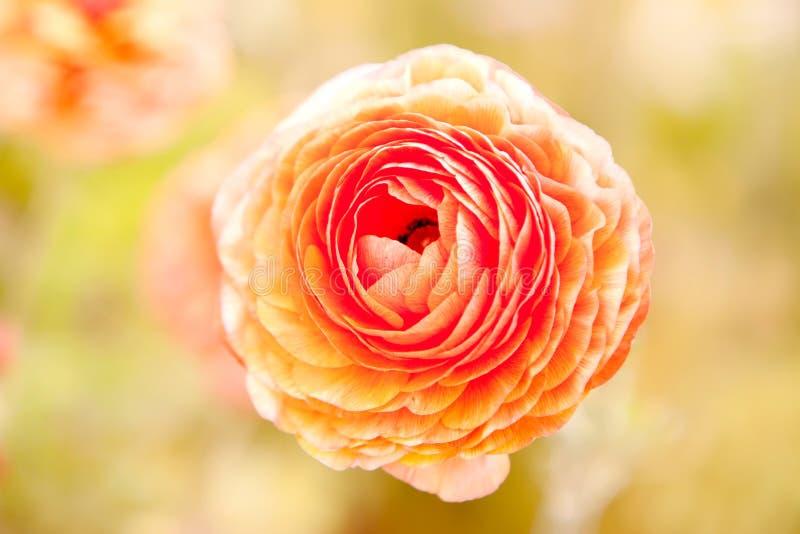 Fleur orange de ranunculus photographie stock libre de droits