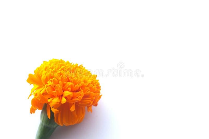 Fleur orange de souci image libre de droits